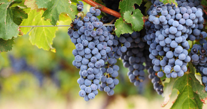 how to choose the best grape seed extract