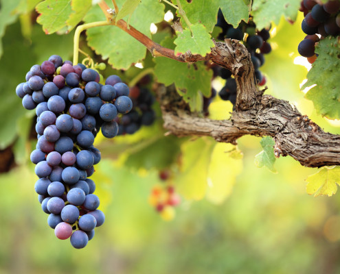 Red wine grapes - grape seed extract